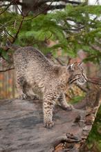 Bobcat Kitten (Lynx Rufus) Prepare To Pounce