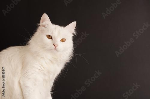 Photo Beautiful white cat