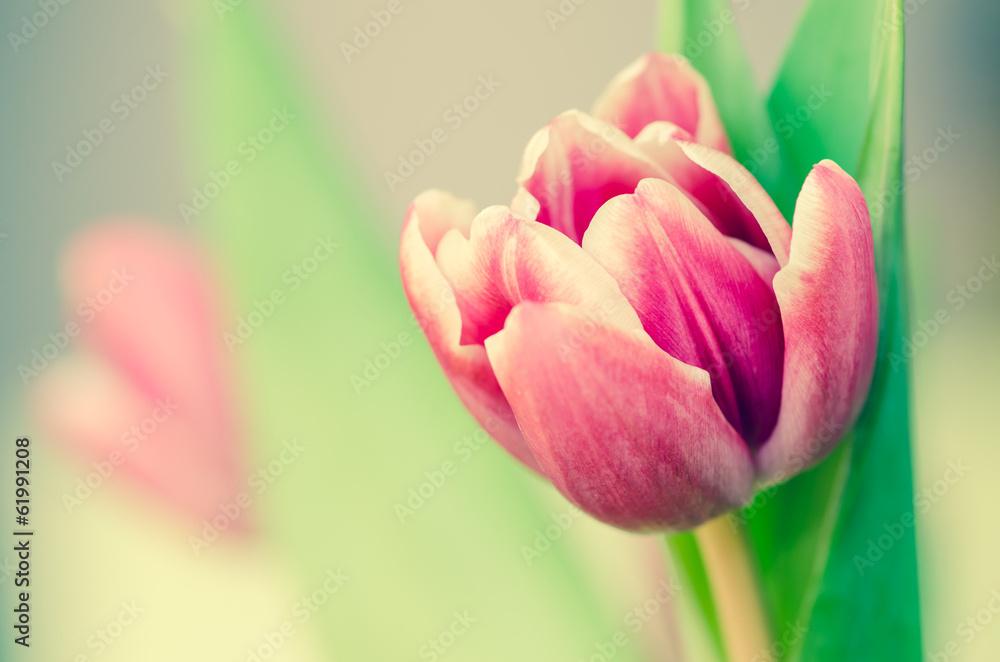 Fototapety, obrazy: Różowy tulipan