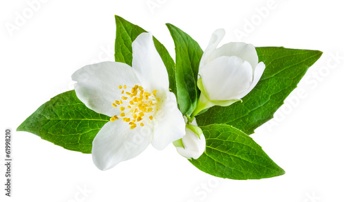 Photographie Jasmine flower with leaves isolated
