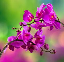 Fototapeta fioletowy kwiat orchidei na rozmycie tła
