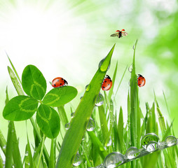 Fototapeta Do biura Fresh grass with dew drops and ladybugs close up