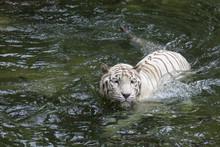 White Bengal Tiger Swimming