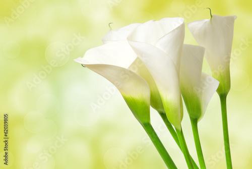Fotografie, Obraz  calla lily flower