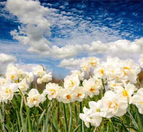 Papiers peints Narcisse Frühlingserwachen: Leuchtende Narzissen mit blauem Himmel :)