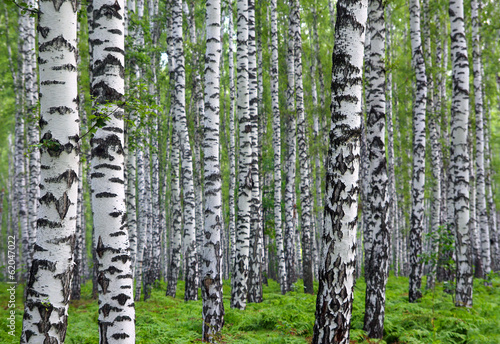 nice summer birch forest #62047022