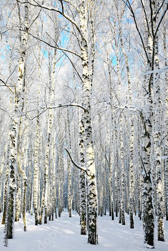 Alley in winter birch forest