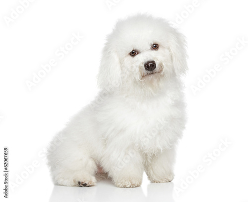 Bichon Frise dog Canvas Print