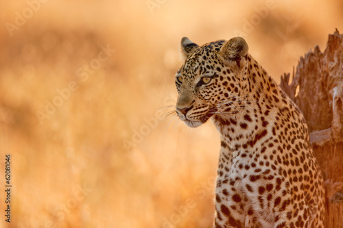 Staande foto Afrika Leopard at Sunset