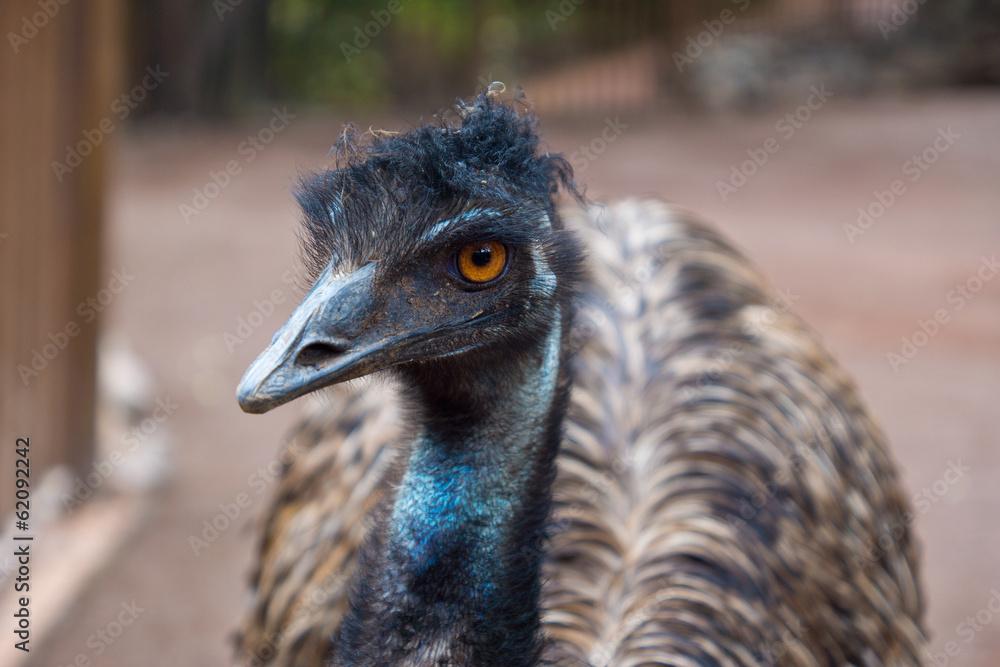 Emu australian bird Canvas Print