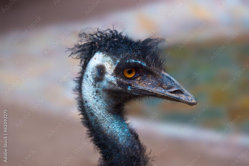 Photo  Emu australian bird