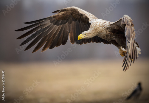 Garden Poster Eagle Adult white-tailed sea eagle in flight