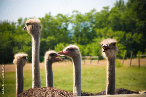 ostrich farm Canvas Print