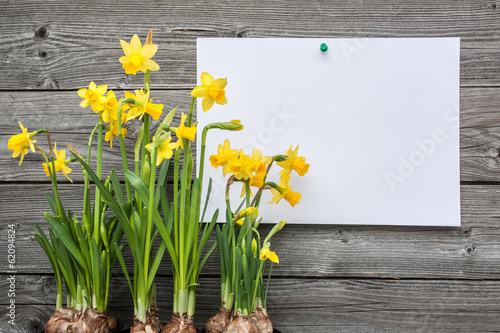 In de dag Narcis Message and spring daffodils