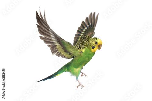 Deurstickers Vogel budgie