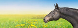 Fototapeta Konie - Black Horse on summer background with dandelion, banner