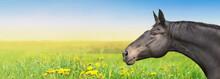 Black Horse On Summer Background With Dandelion, Banner