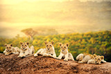 Fototapeta Sawanna - Lion cubs waiting together.