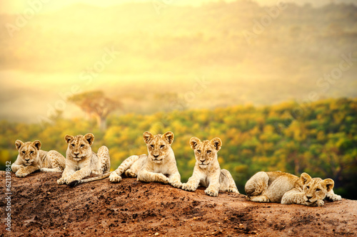 Photo  Lion cubs waiting together.