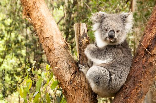 Poster Oceanië Australian Koala