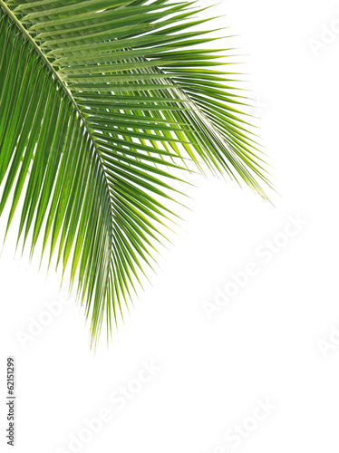 Green coconut leaf on white background Wall mural