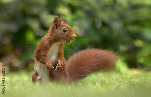 Red Squirrel Wallpaper Mural