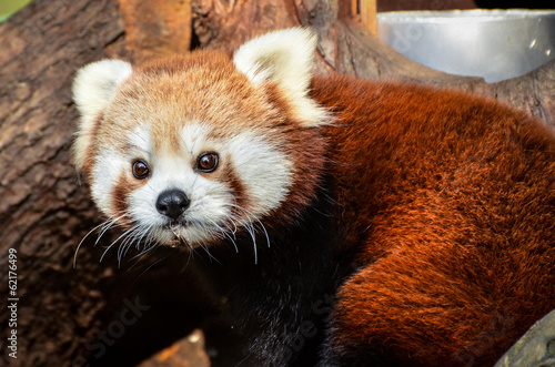 Canvas Print Red Panda