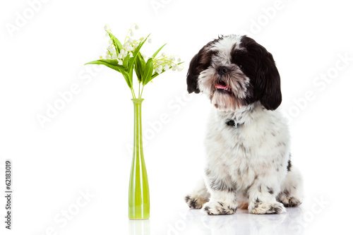 Staande foto Lelietje van dalen dog with lily of the valley isolated on white background. spring