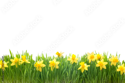 Deurstickers Narcis spring narcissus flowers in green grass