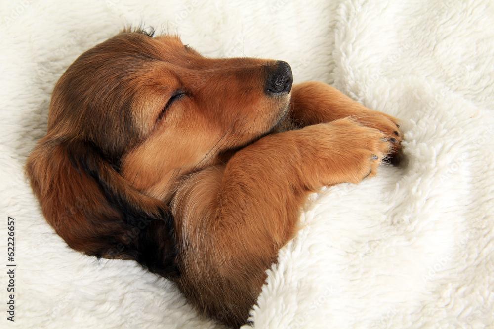 Fototapety, obrazy: Sleeping dachshund puppy