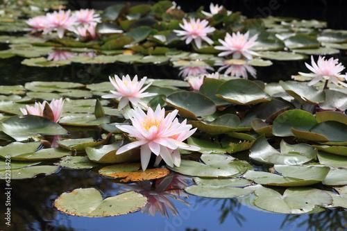 Deurstickers Waterlelies Nymphea