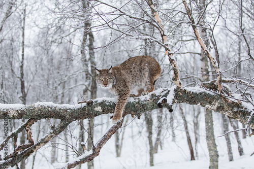 Photo Stands Lynx European Lynx in the snow