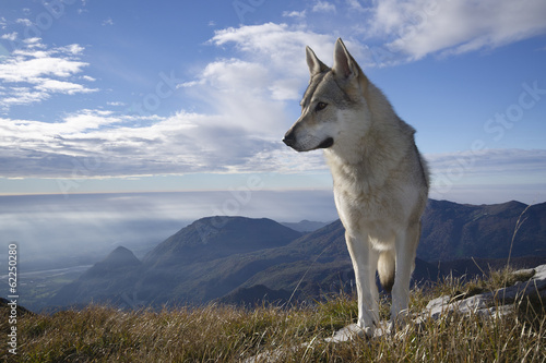 Photo Gray Wolf Howling