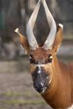 Fototapeta Sawanna - oryx