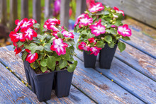 Impatiens Seedlings (Impatiens...