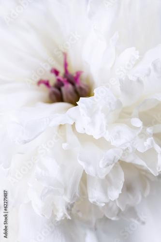 Fototapety, obrazy: White peony flower close up
