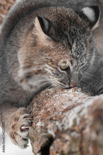 Foto auf Leinwand Luchs Bobcat (Lynx rufus) Sniffs and Claws at Branch