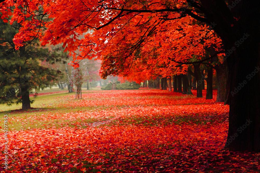Fototapeta red autumn in the park