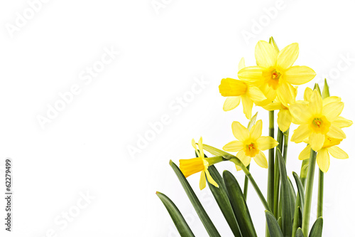 Valokuva Yellow daffodils on a white background