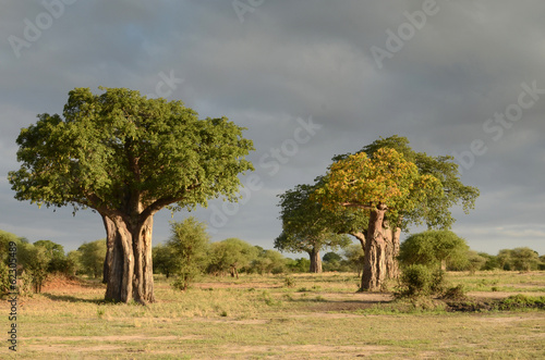 Keuken foto achterwand Baobab baobab dans la savane