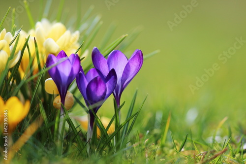 Photo sur Toile Crocus crocus