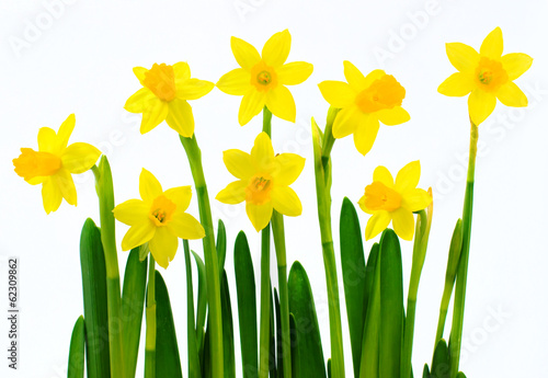 Recess Fitting Narcissus Fresh yellow daffodils