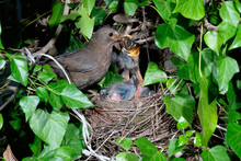 Common Blackbird (Turdus Merula) Female At Nest Feeding Chicks