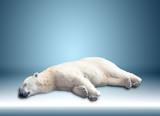one polar bear