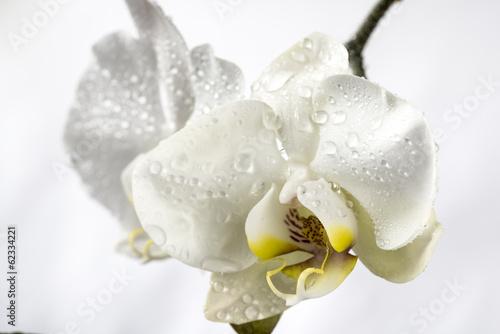 Phalaenopsis, Moth Orchid