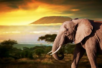 Fototapeta Elephant on savanna. Mount Kilimanjaro at sunset. Safari