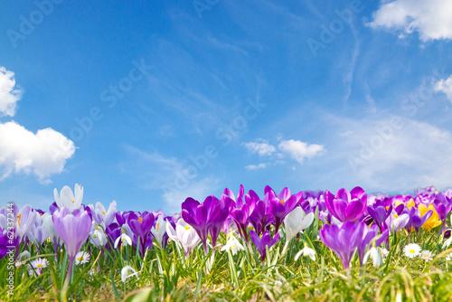 Fotoposter Krokussen Krokusse auf der Frühlingswiese