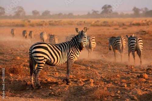 Fototapety, obrazy: Plains Zebras, Amboseli National Park