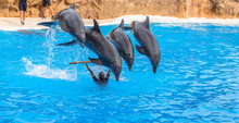 Four Dolphins Jumping Over A Stick During A Park Show