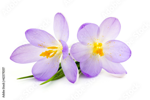 Cadres-photo bureau Crocus crocus - spring flowers